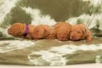 Pejsci ve věku 16 dnů