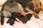 Porod border teriérů