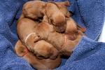 Porod prvních štěňátek
